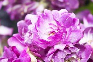 flowers, lilacs primula