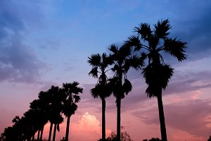 silhouette of sugar palm tree