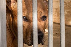 Caged dog, behind bars with sad look