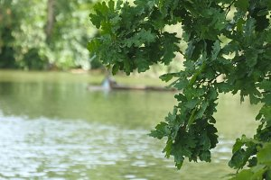 Leaves fluttering in the wind over the lake. Oak tree on pond shore