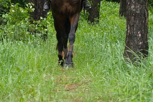 Legs of horse walk in green grass as it approaches