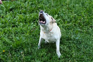 Dog breed labrador retriever sits on green grass and barking and hear coach command outdoors