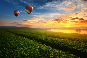 Green tea field with Balloon