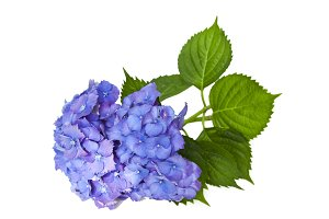 blue hydrangea isolated on white