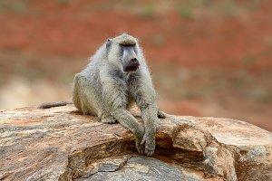 Monkey baboon