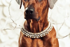 Rhodesian Ridgeback lady-dog in front of a vanity