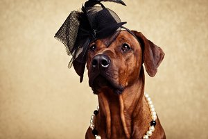 Rhodesian Ridgeback dog dressed in a hat and necklace