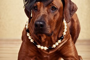 Rhodesian Ridgeback lady dressed in black hat and pearl necklace