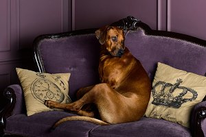 Rhodesian Ridgeback dog sitting on a sofa