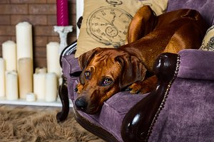 Dog on sofa in front of fireplace watching its master
