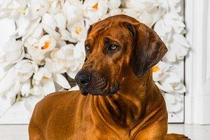Elegant Rhodesian Ridgeback dog in front of stylized flower fire
