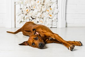 Cute relaxed Rhodesian Ridgeback dog stretching in front of  fir