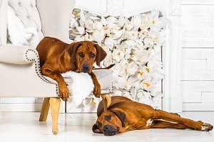 Two Rhodesian Ridgebacks resting in front of stylized  fireplace