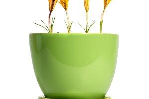 Yellow flowers saffron
