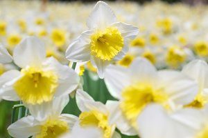 Field of beautiful narcissuses