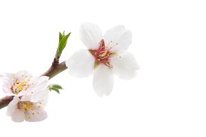Branch with almond white flowers