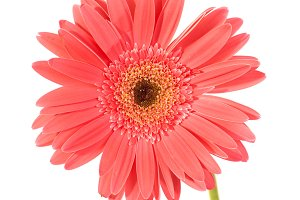 Red flower gerbera