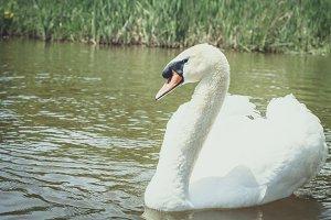 Hello Swan