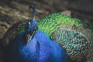 Sleepy Peacock