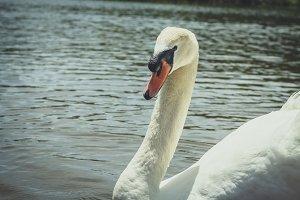Hello again Swan