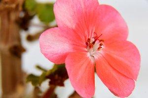 geranium flower (macro)