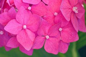 hydrangea flowers (macro)