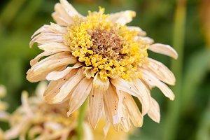 dry daisy flower (macro)