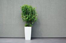 Green ficus tree