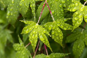 Maple Leaves and Raindrops