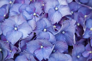 background of blue hydrangea petals