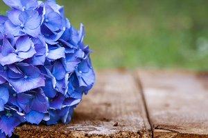 flowers, hydrangea