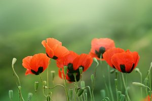 red poppy flower in grass