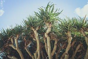 Big Yucca