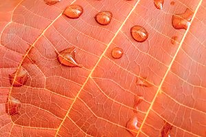 autumn leaf with drops