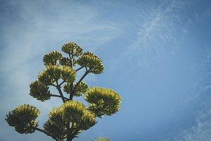 Cactus tree in Sacramento