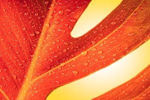 autumn leaf with drop