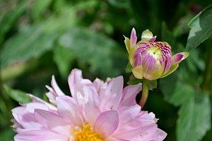 dahlia and blossom full sun