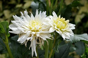 white dahlia withering