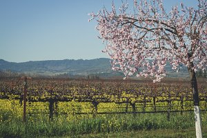 Napa Valley in full bloom