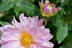 dahliah and blossom
