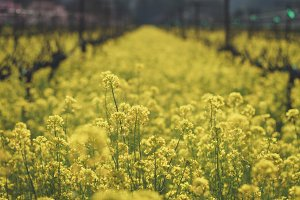 Mustard Field and Vineyard
