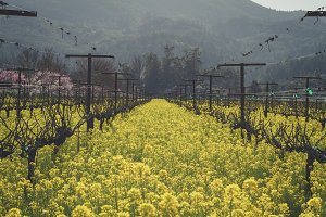 Mustard Field in Napa Valley