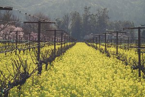 Napa Valley in full bloom 1