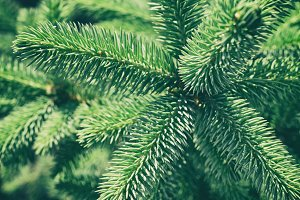 Green spruce in retro style