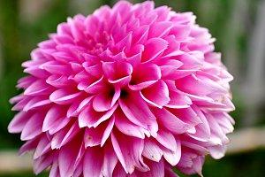 pink dahlia full sun