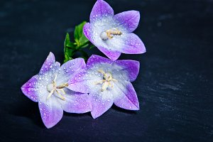 White and purple bell flower