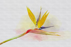 bird paradise flower watercolor