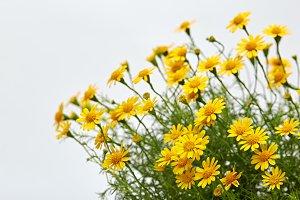 Field of yellow daisy