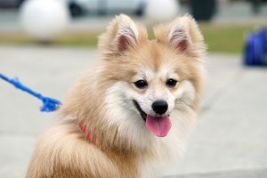 Happy Pomeranian Dog