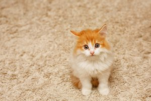 Cute red kitten looking up